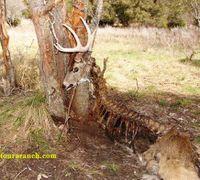Buck_caught_in_tree_dead