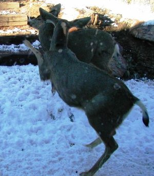 Bucks_fighting_no_antlers_1_2
