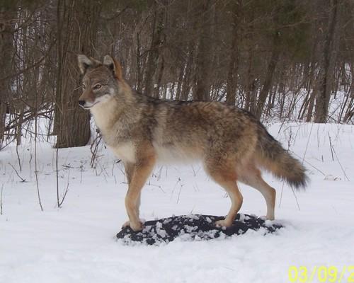 Coyote_mount