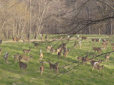 Deer_moving_to_higher_ground_floo_2