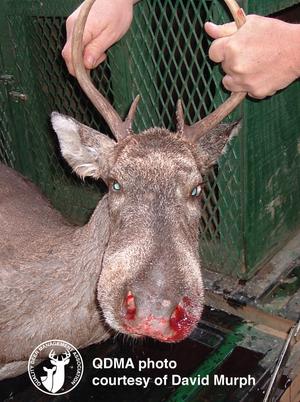 Bignose_deer