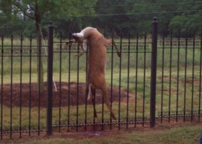 Deer_on_fence