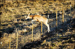 Deer_juump_fence_cwd