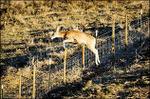 Deer_juump_fence_cwd